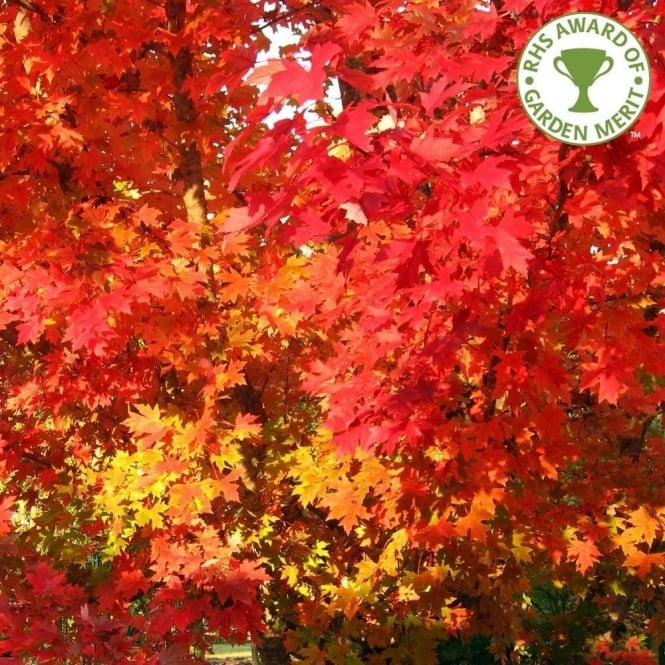 Acer Rubrum October Glory Scarlet Or Red Maple Trees