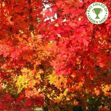 Acer rubrum 'October Glory' Maple tree