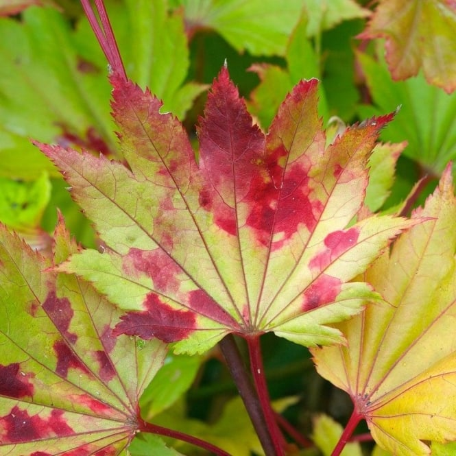 Acer Shirasawanum Aureum Buy Golden Moon Shirasawa Maple Trees