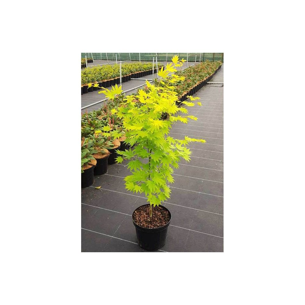 Acer Shirasawanum Jordan Jordan Full Moon Maple Trees For Sale