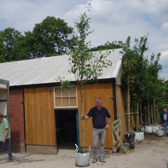 Amelanchier arborea 'Robin Hill' | TreeEbb | Online tree-finding ... | 665x665