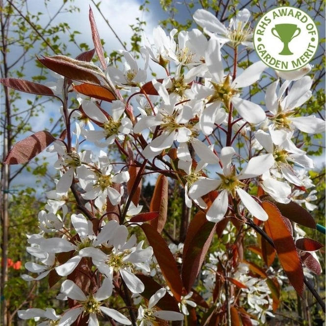 Amelanchier lamarckii Tree