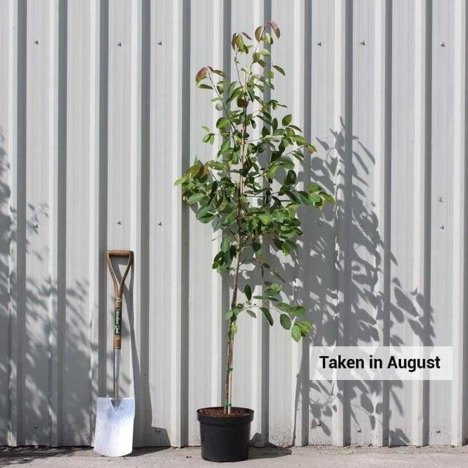 Amelanchier lamarckii Tree