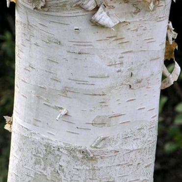 Betula ermanii 'Polar Bear' tree
