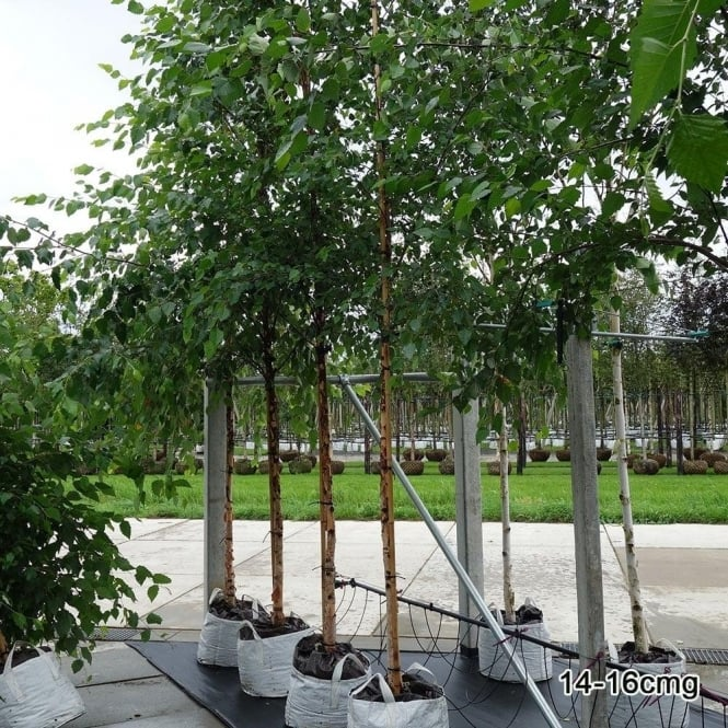 Heritage birch tree pictures Birch Trees: Planting Caring for Birches Garden Design