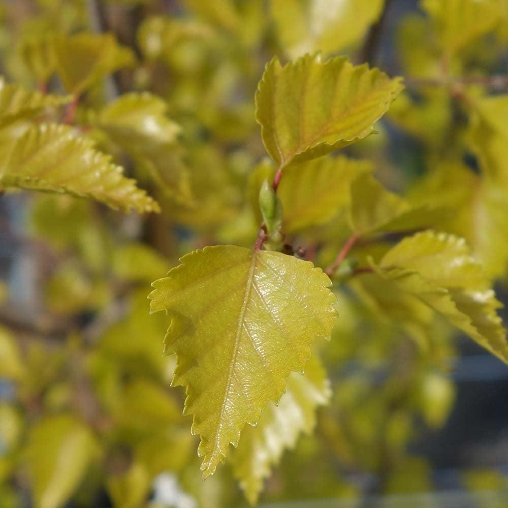 Betula pendula Golden Cloud-Golden Cloud Birch Plant in 1.5 L pot