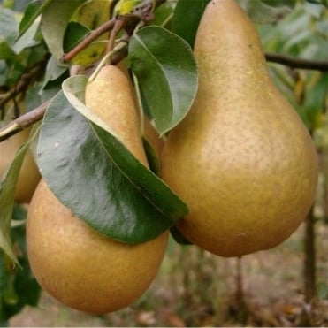 Beurre Hardy Pear Tree