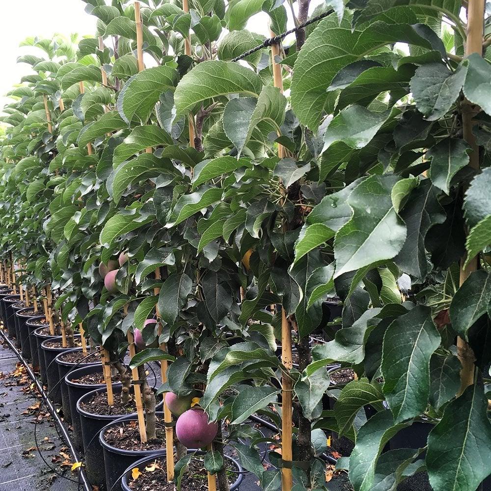 Blue Moon Columnar Cordon Apple Tree Ornamental Trees Ltd