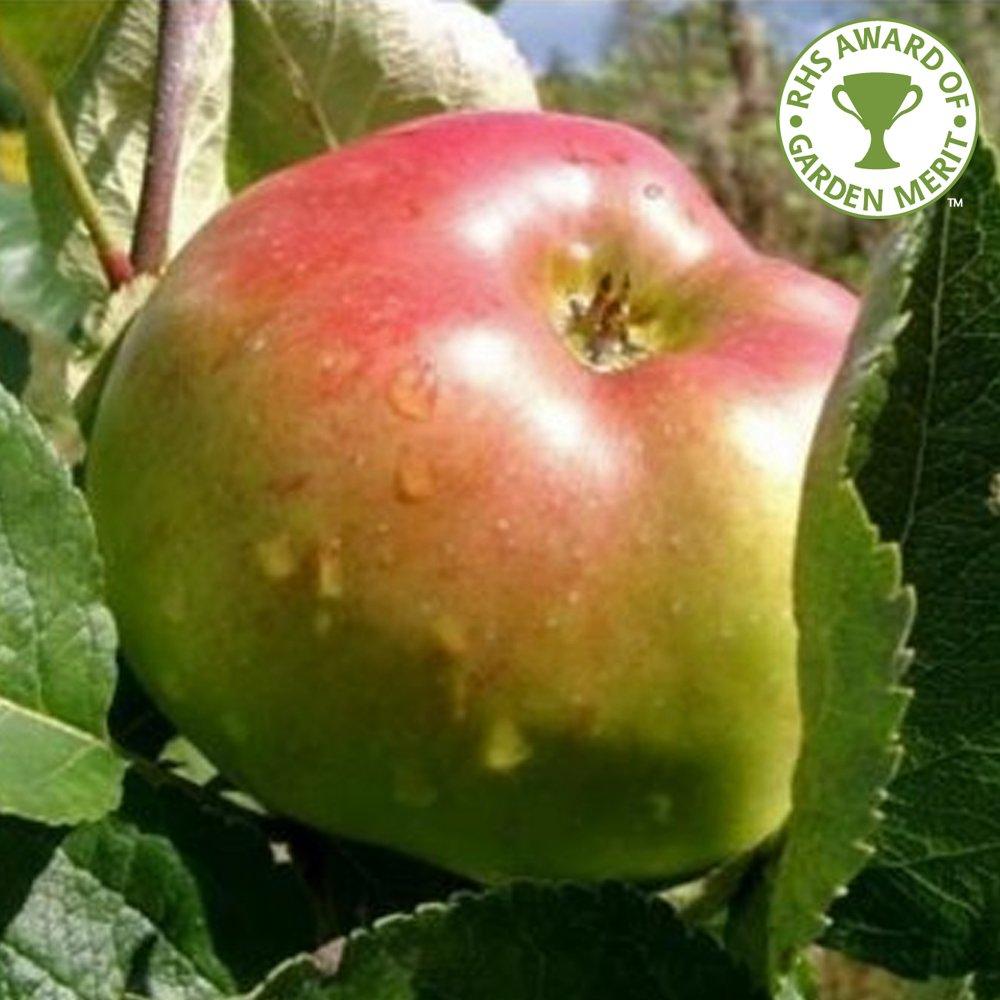 Bramley Seedling Apple Tree Buy Cooking Apple Trees Online
