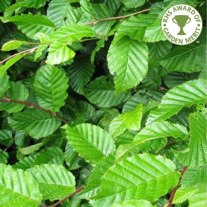 Mature ornamental trees