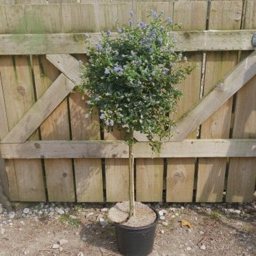 Small Trees For Pots & Planters | Patio Trees | Ornamental