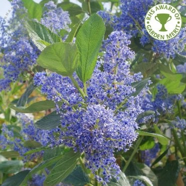 Blue Purple Flowering Trees Ornamental Trees Ltd