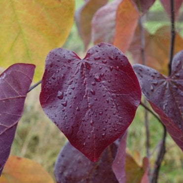 Trees With Red Purple Coloured Foliage Ornamental Trees Ltd