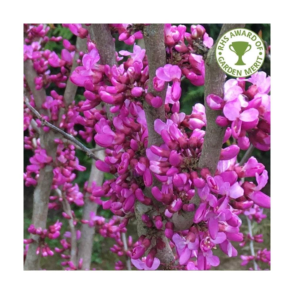 Cercis Chinensis Avondale Buy Chinese Redbud Trees