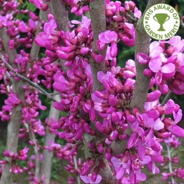 Cercis chinensis 'Avondale' Tree