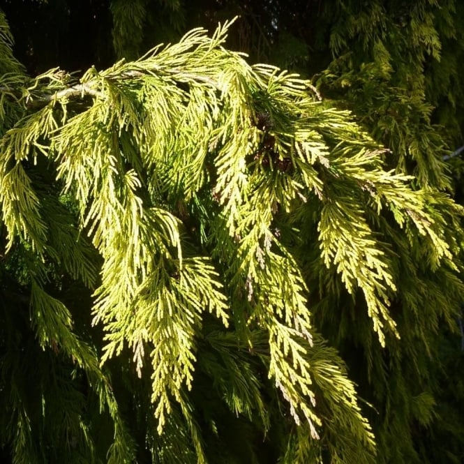 Chamaecyparis lawsoniana 'Winston Churchill' Conifer