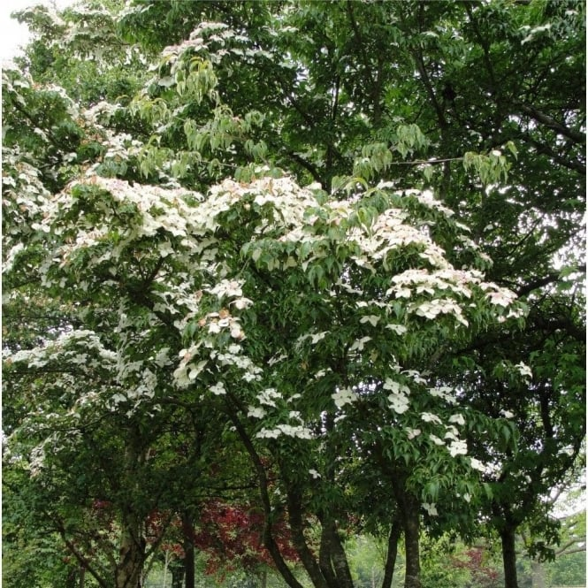 Cornus Kousa Var Chinensis White Flowering Chinese Dogwood Trees
