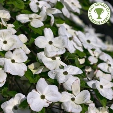 Cornus 'Eddie's White Wonder' Tree