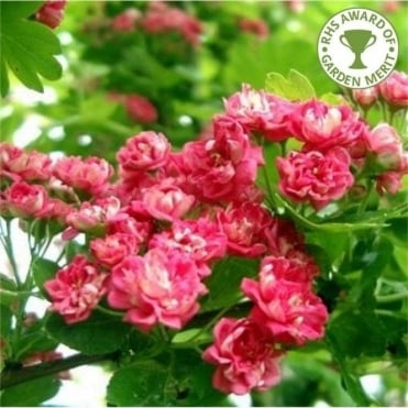 Flowering hawthorn 'Paul's Scarlet'