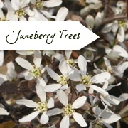 Amelanchier | Juneberry Tree | Serviceberry