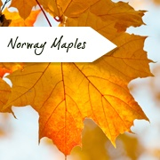 Acer Trees Range Of Maple Trees Ornamental Trees Ltd - Norway maple uses
