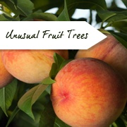 Unusual Fruit Trees