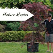 Mature Japanese Maples