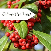 Cotoneaster Trees