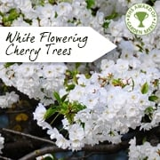 Flowering cherry blossom trees prunus ornamental trees ltd white flowering cherry trees mightylinksfo