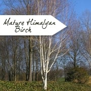 Mature Himalyan Birch Trees