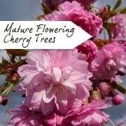 Mature Flowering Cherry Trees