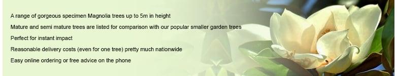 Buy mature magnolia tree