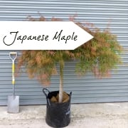 Mature Japanese Maple Trees