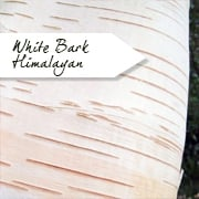 White Bark Himalayan Birch Trees