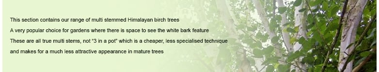 Multi Stemmed White Himalayan Birch Trees