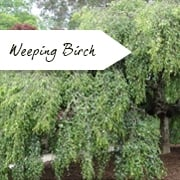 Weeping Birch Trees