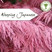 Weeping Japanese Maple Trees