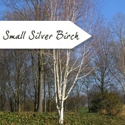 Small Silver Birch Trees (White Bark Trees)