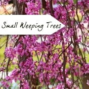 Weeping Trees for small gardens