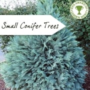 Small Conifer Trees