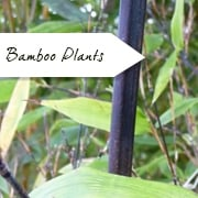 Bamboo Plants | Phyllostachys