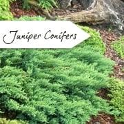 Conifer Trees For Sale Coniferous Ornamental Trees Ltd