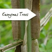 Euonymus Trees | Spindle Trees