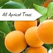 All Apricot Trees