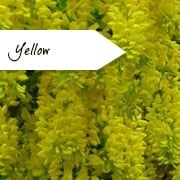 Yellow Flowering Trees