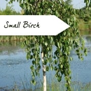 Birch Trees for Small Gardens