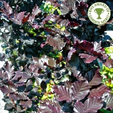 Fagus sylvatica 'Dawyck Purple' tree