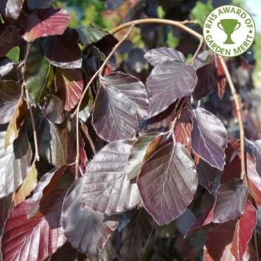 Fagus sylvatica 'Purple Fountain' Tree