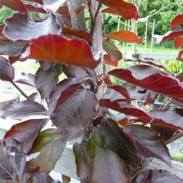 Fagus sylvatica 'Rivers Purple' tree