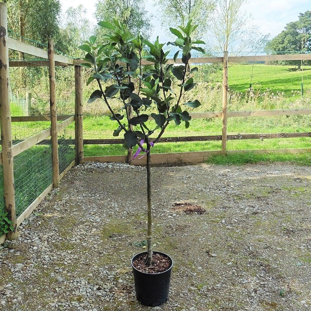 Bramley 20 Apple Tree 120 150cm 12l Pot